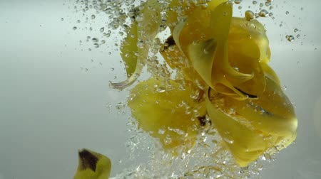 blister : Petals of tulips fall in water. Background. Slow motion.