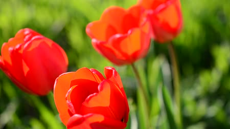wildflowers : Tulips in the spring.