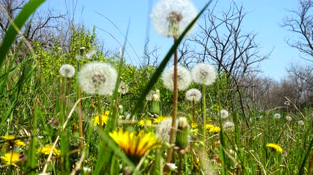 macro shooting : Shooting of dandelions in the spring.