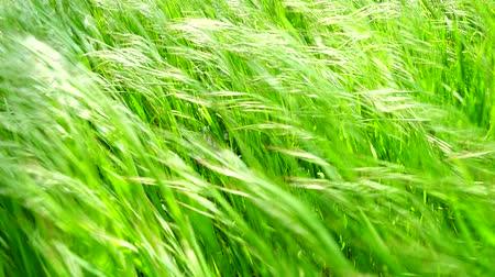 macro shooting : Shooting of a grass in the movement.