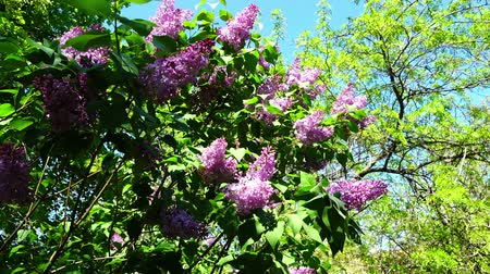 florescência : Lilac flowers on a tree. Shooting in the movement.