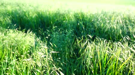 明るく照らされた : Shooting of a grass. Shooting in the movement. 動画素材