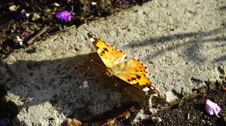 motyl : The butterfly sits on a stone. Wideo