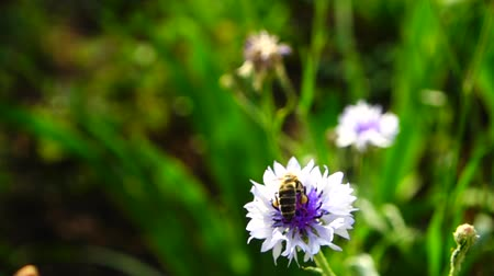 chabry : Bee and flower. Slow motion. Wideo