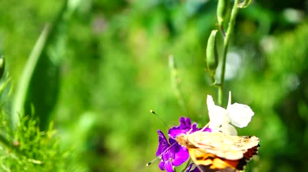 kayran : Butterfly and flowers. Slow motion.