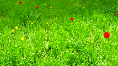tulipan : Spring meadow. Shooting in the spring. Wideo