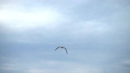 bird ecology : Flight of the seagull in the sky over the sea. Slow motion.