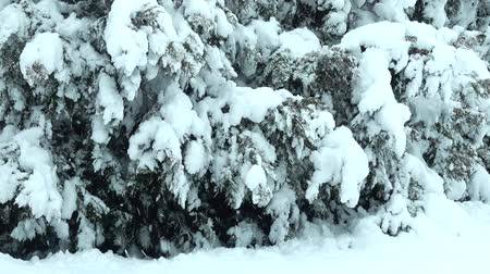 snow covered spruce : Winter day. Shooting in the park. Shooting in the winter.