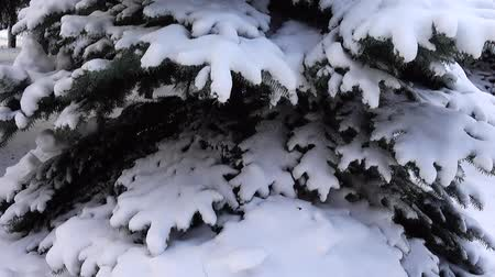 snow covered spruce : Fir-tree under snow in the winter. Shooting in the winter. Stock Footage