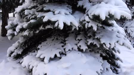 lucfenyő : Fir-tree under snow in the winter. Shooting in the winter. Stock mozgókép