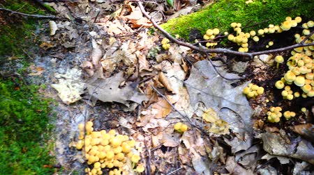 樹皮 : Armillaria mellea. Shooting of mushrooms in the forest.