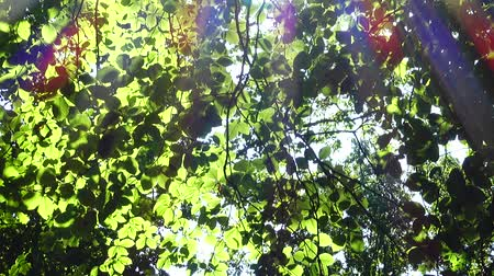 light rays : Beams of the sun through leaves of trees.