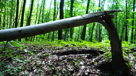 decomposition : The broken tree in the forest. Stock Footage