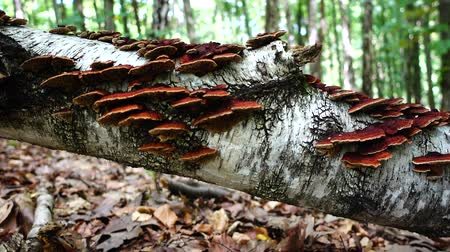 muchomor : Forest mushrooms on a tree trunk.
