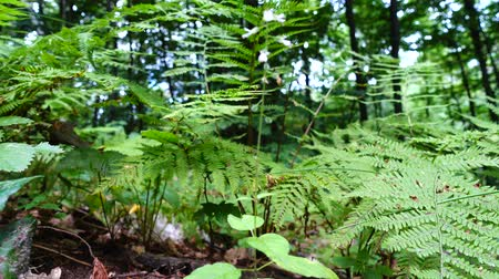 kapradina : Fern in the forest. Shooting in the summer.