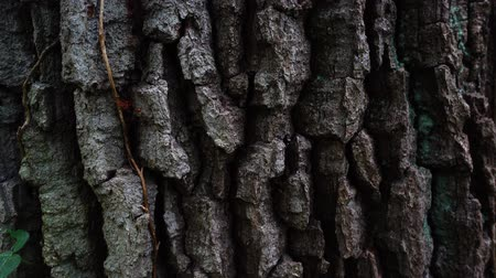 лесное хозяйство : Trunk of a huge tree. Tree bark shooting in the forest.