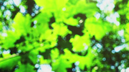 pastoral : Beams of the sun through leaves of trees. Out of focus. Stok Video