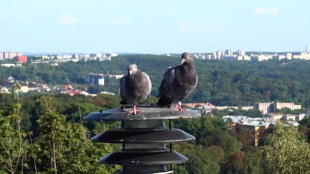 sokak lâmbası direği : Pigeons sit on a lantern in the background of the city. Stok Video