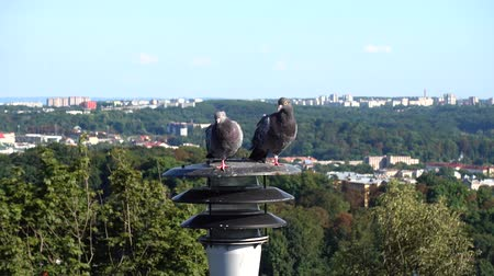 lamppost : Pigeons sit on a lantern in the background of the city. Stock Footage