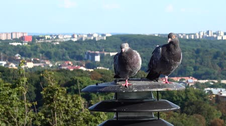 holubice : Pigeons sit on a lantern in the background of the city. Dostupné videozáznamy