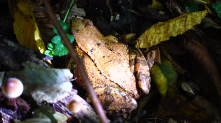樹皮 : Frog in the fall forest.