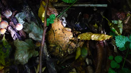 anfíbio : Frog in the fall forest.