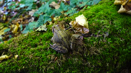 tree frog : Frog in the fall forest.