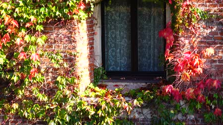 klimop : Ivy on the brick wall of the house. Shooting in the fall.