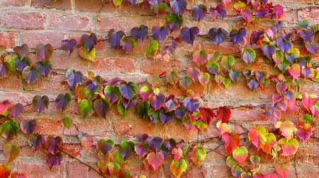 stalk : Ivy on the brick wall of the house. Shooting in the fall.