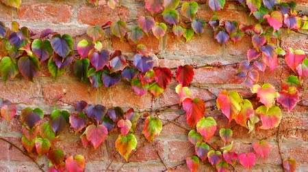 hera : Ivy on the brick wall of the house. Shooting in the fall.