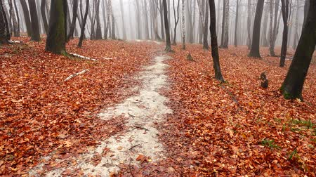 faia : Path in the autumn forest. Fog in the forest.