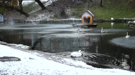 zwaan : Swans in a pond. Shooting in the winter. Stockvideo