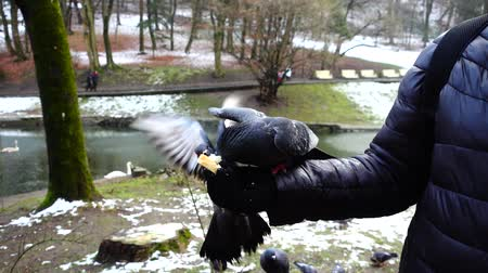 colombe : Feeding pigeons from your hands in the winter park. Slow motion.