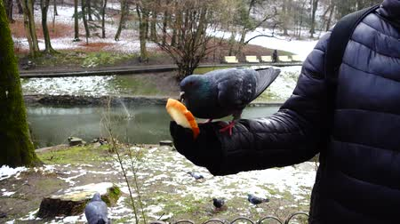 zooloji : Feeding pigeons from your hands in the winter park. Slow motion.