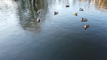 yeşilbaş : Ducks in a pond. Shooting in the afternoon.