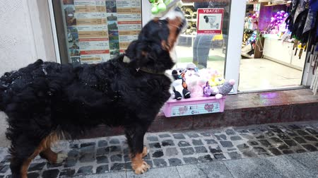 geyik : LVIV, UKRAINE - DECEMBER 29, 2019: Bernese mountain dog in front of a shop window waiting for the owner.