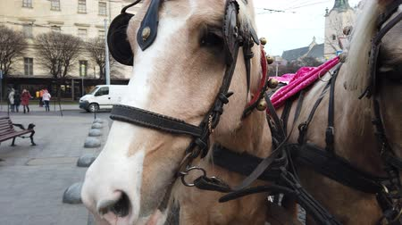 harness : Shooting of horses. Close-up shot. Horses on the city street.
