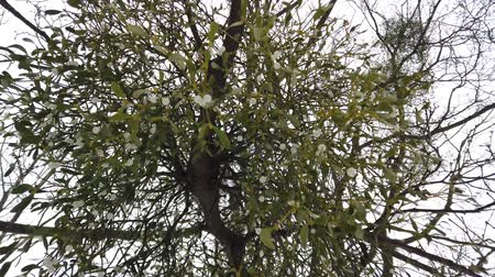 cins : Viscum on a tree. The evergreen shrub plant is a genus of semi-parasitic shrubs. Shooting in the winter. Stok Video