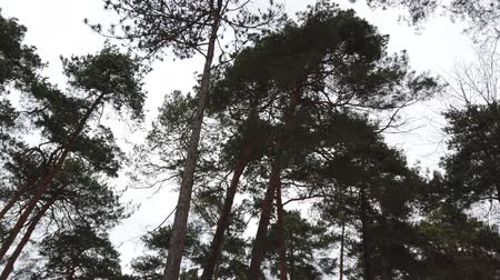 ekosistem : Pine tops. Shooting in the winter.