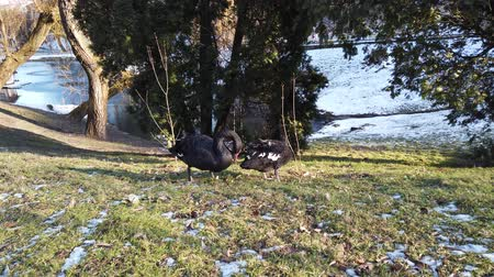 snow on grass : Black swans on the lawn near the pond in winter.