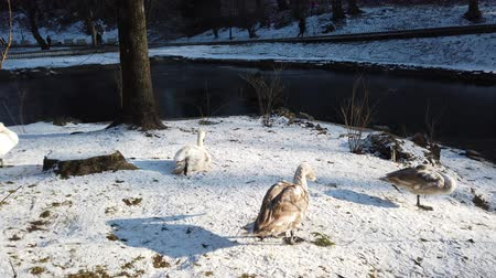 snow on grass : White swans on the lawn near the pond in winter.