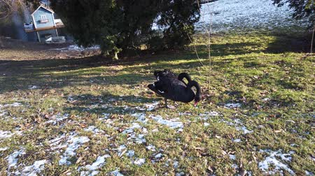 zwaan : Black swans on the lawn near the pond in winter.