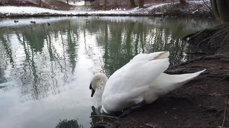 лебедь : A white swan floats in a pond.