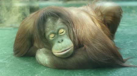 majom : Sad orangutan sits in a cage at the zoo