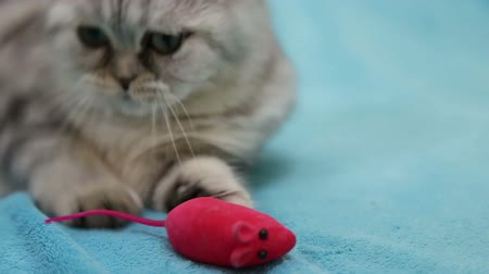 fare : Scottish fold cat playing with toy mouse
