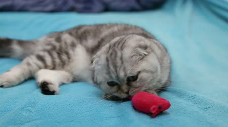 zabawka : Scottish fold cat playing with toy mouse