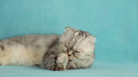 provérbio : Illustration of a proverb To buy a cat in a sack, the bag with funny scottish fold cat pose, then open and the cat runs away