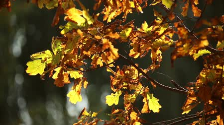 dub : Autumn gold, yellow, red leaves on the oak trees