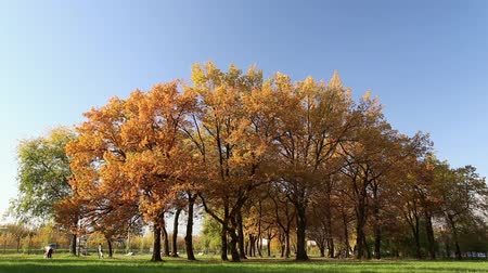 dub : Autumn gold, yellow, red leaves on the oak trees in the park, people walk Dostupné videozáznamy