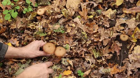 manges : A man picking mushrooms armillaria in the forest in autumn, fallen yellow leaves lie on the ground